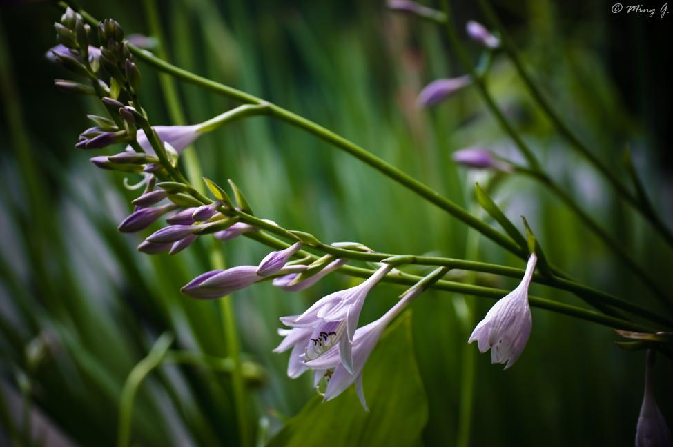 Hostas Flowers
