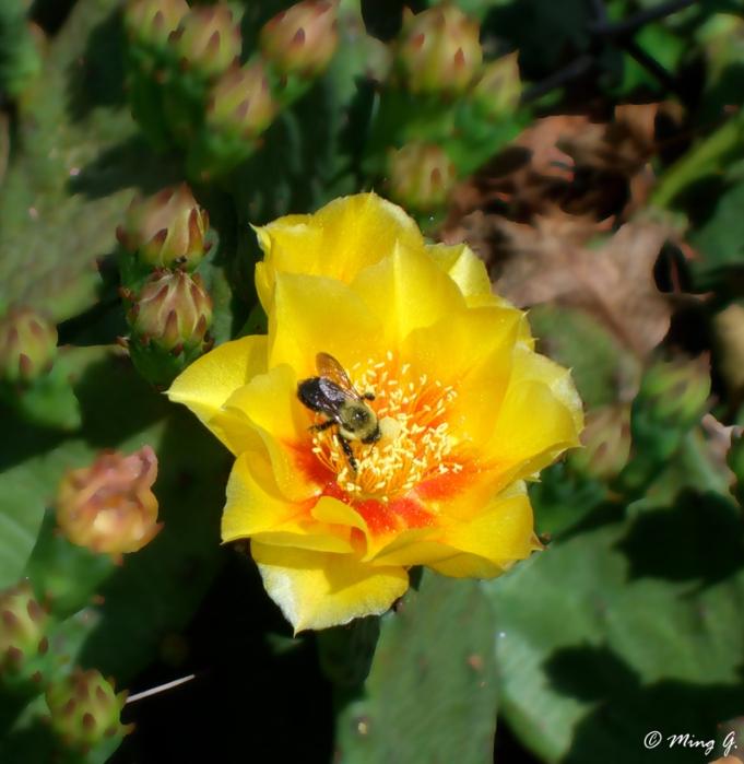 Cactus Flower & Bee