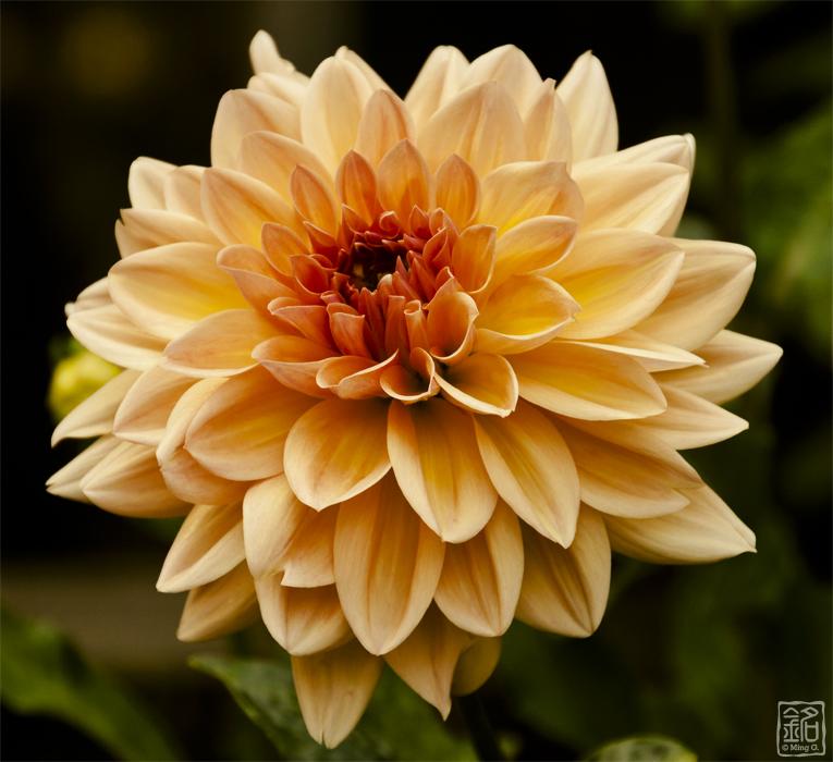 Flower.Dahlia