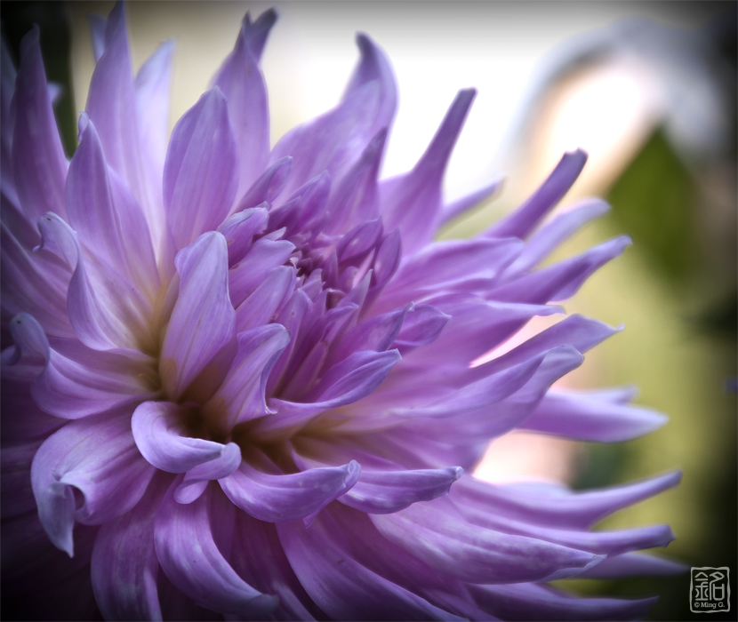 Flower . Dahlia . Purple Dream