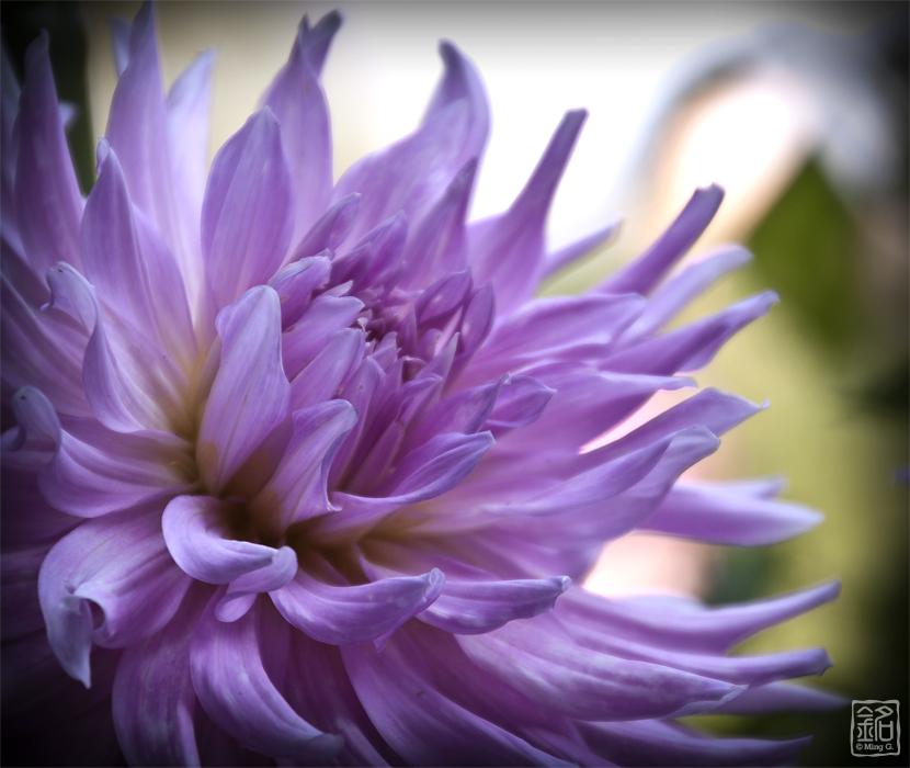 Flower . Dahlia . Purple Dream