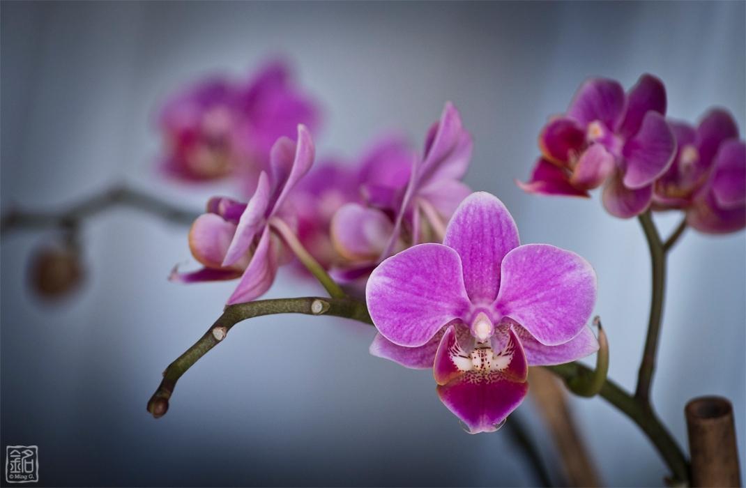 Flower.Orchid III