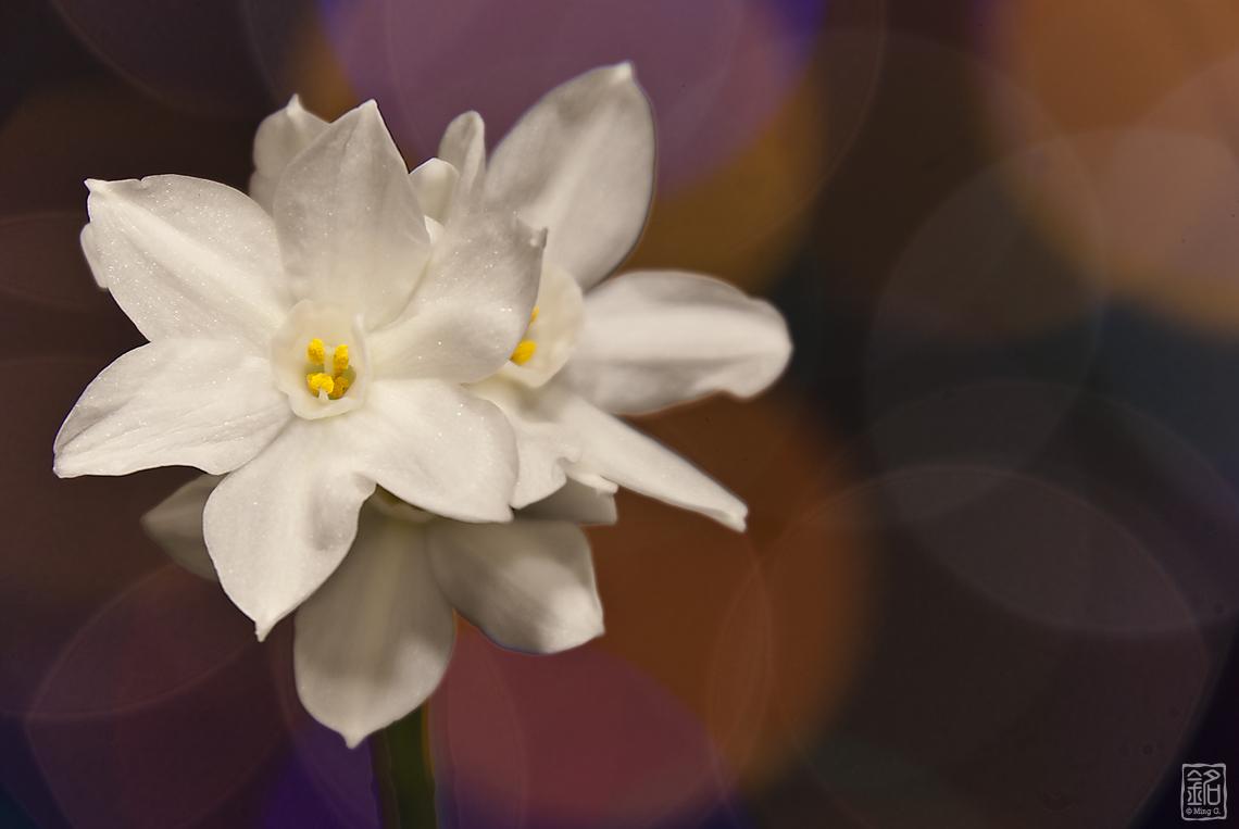 Flower.Paperwhites