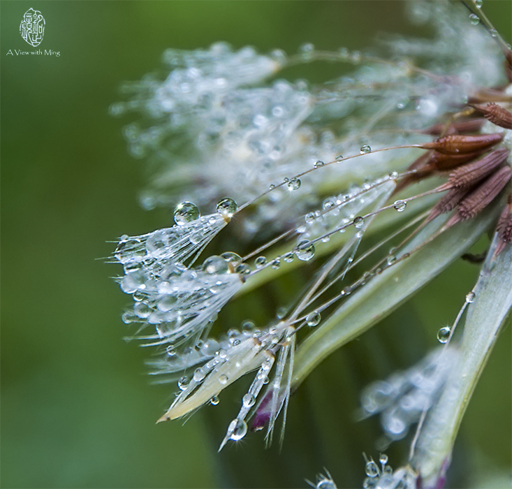 Dandelion After Rain by Ming Gullo