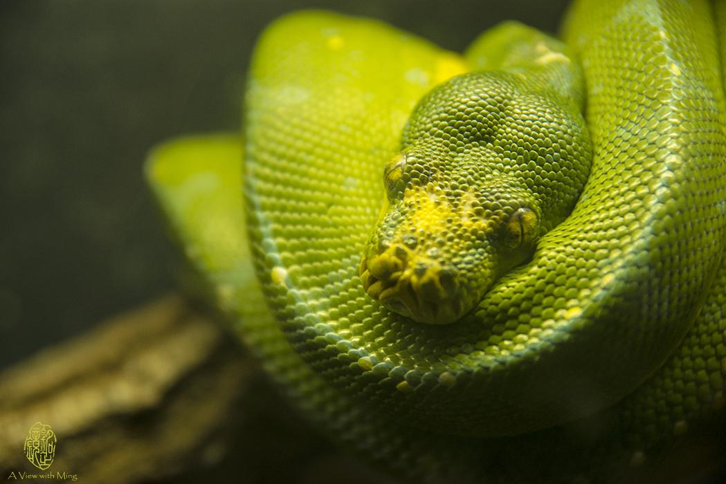 Green Tree Python by Ming Gullo