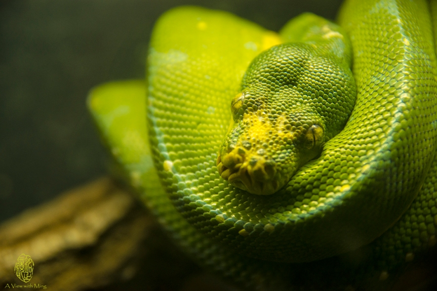 Green Tree Python by Ming Gullo