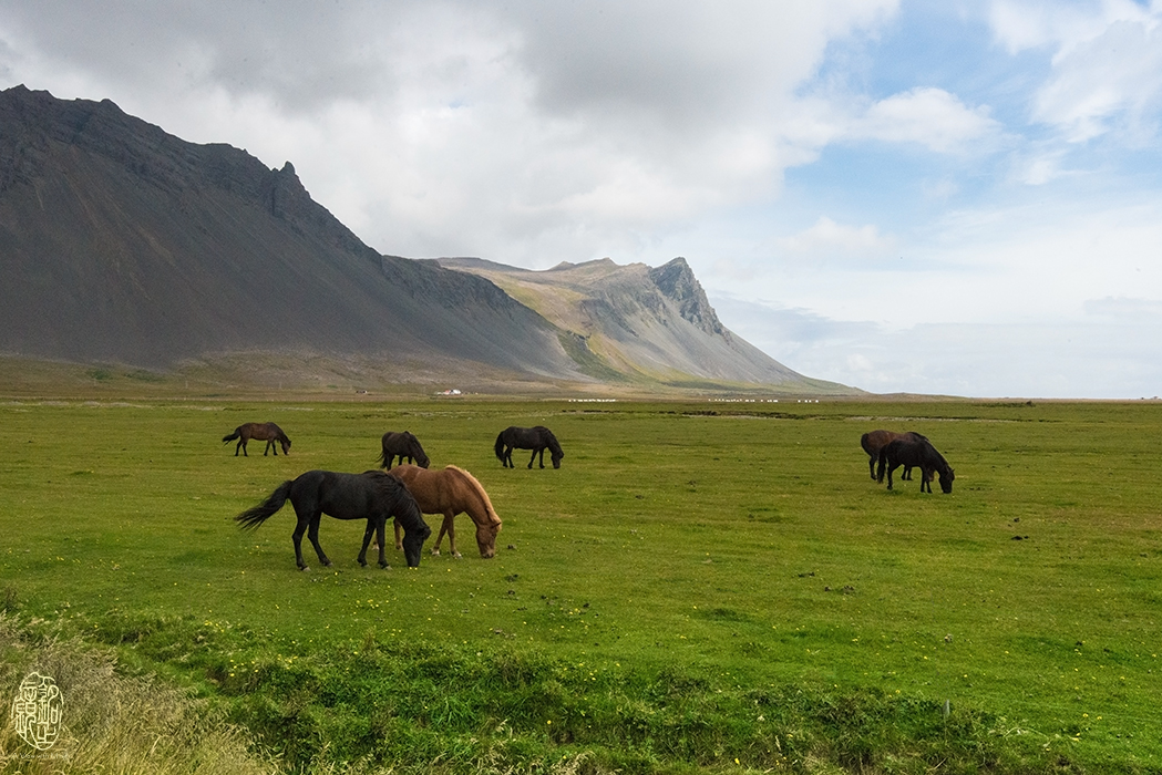 Icelandic horses at Snaefellsjoekull.