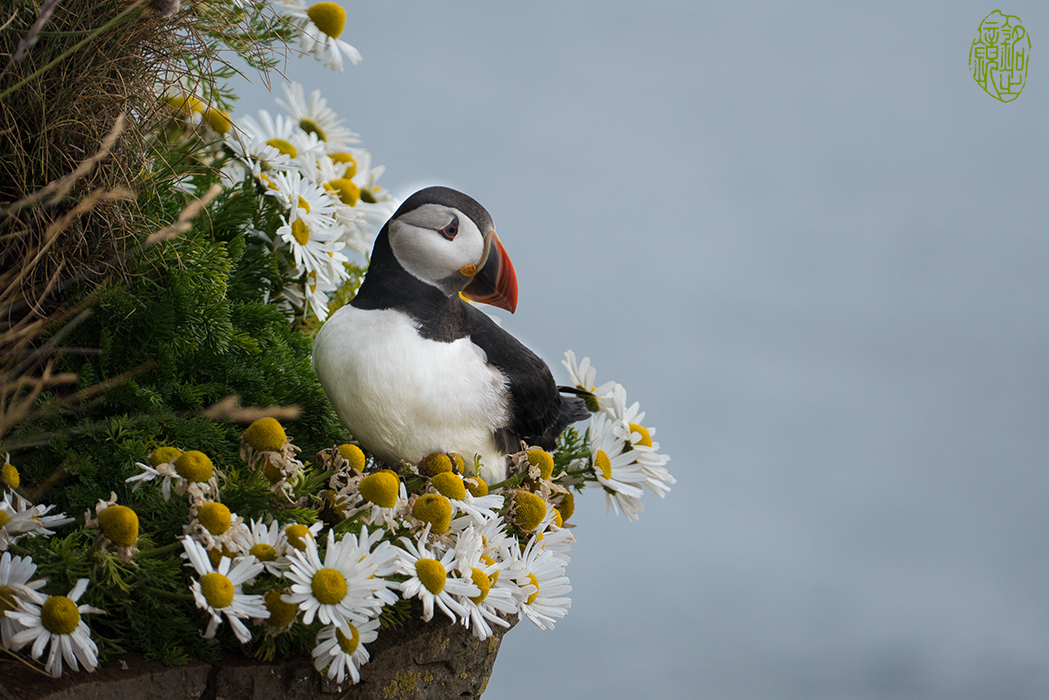 Puffin on Latrabjarg Cliff, Westfjords, Iceland